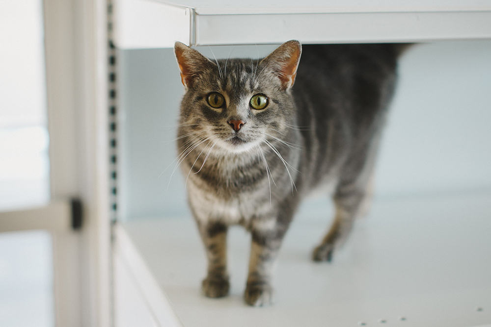 A grey and black cat with green eyes standing on a shelf and looking at the camera