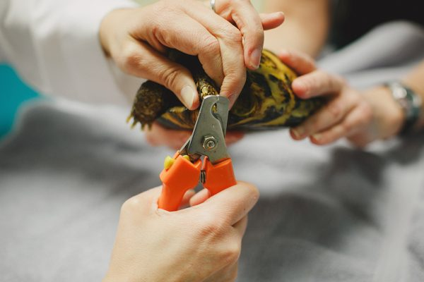 A team member cutting the nails for a tortoise