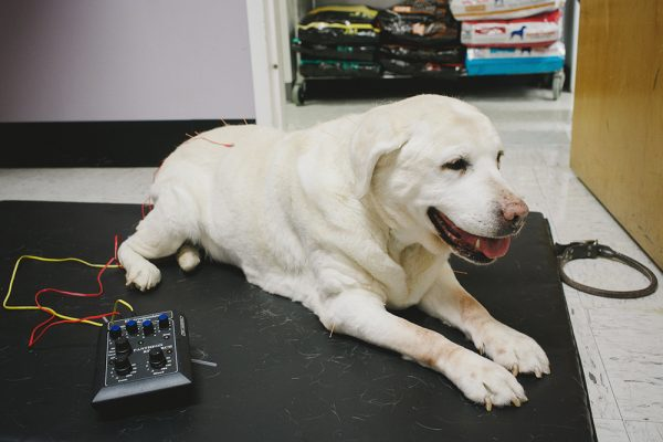 A older yellow labrador receiving acupuncture
